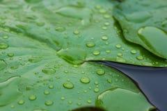 Το Waterdrops στο λωτό βγάζει φύλλα Στοκ Εικόνες
