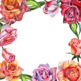 Το Wildflower αυξήθηκε πλαίσιο λουλουδιών σε ένα ύφος watercolor που απομονώθηκε Στοκ εικόνες με δικαίωμα ελεύθερης χρήσης