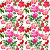 Το Wildflower αυξήθηκε σχέδιο λουλουδιών arkansana σε ένα ύφος watercolor που απομονώθηκε Στοκ Εικόνες