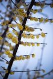 Το Wintersweet και το χιόνι Στοκ εικόνα με δικαίωμα ελεύθερης χρήσης