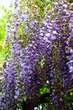 Το wisteria άνθισης Στοκ Εικόνες