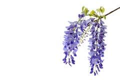 Το Wisteria ανθίζει το floral στοιχείο σχεδίου Στοκ Φωτογραφίες