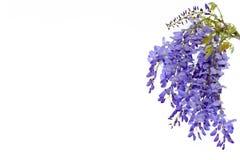 Το Wisteria ανθίζει το floral στοιχείο σχεδίου Στοκ Φωτογραφία