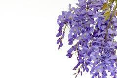 Το Wisteria ανθίζει το floral στοιχείο σχεδίου Στοκ εικόνα με δικαίωμα ελεύθερης χρήσης