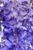 Το Wisteria ανθίζει το floral στοιχείο σχεδίου Στοκ Εικόνες