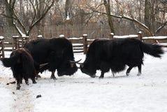 Το Yaks παλεύει Στοκ φωτογραφία με δικαίωμα ελεύθερης χρήσης