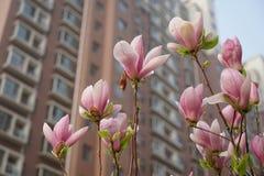 το yulan λουλούδι magnolia ανθίζει την άνοιξη Στοκ Εικόνες