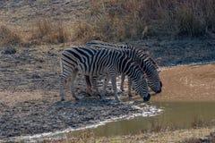 Το Zebras συλλέγει γύρω για να πιει, Matopos, Ζιμπάμπουε στοκ εικόνα
