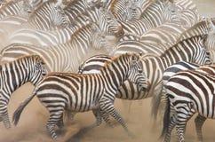 Το Zebras τρέχει στη σκόνη στην κίνηση Κένυα Τανζανία Εθνικό πάρκο serengeti mara masai Στοκ Εικόνες