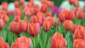 Τράβηγμα της εστίασης του λουλουδιού τουλιπών στον τομέα λουλουδιών απόθεμα βίντεο