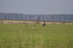 Τρέξιμο άγριας φύσης στοκ φωτογραφία