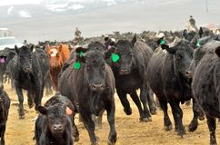 Τρέξιμο αγελάδων και μόσχων Στοκ φωτογραφίες με δικαίωμα ελεύθερης χρήσης
