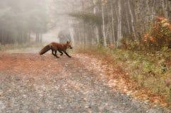 Τρέξιμο αλεπούδων πρωινού στοκ εικόνες