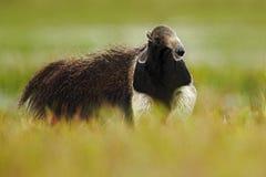 Τρέξιμο γιγαντιαίο Anteater, tridactyla Myrmecophaga, ζώο με τη μακριά ουρά και μύτη κούτσουρων, στο βιότοπο φύσης, Pantanal, Βρα Στοκ εικόνες με δικαίωμα ελεύθερης χρήσης