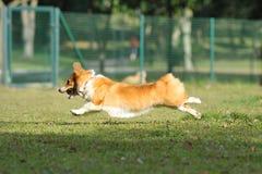 τρέξιμο λιβαδιών σκυλιών Στοκ Εικόνες