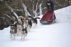 Τρέξιμο σκυλιών ελκήθρων Στοκ εικόνες με δικαίωμα ελεύθερης χρήσης