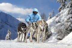 Τρέξιμο σκυλιών ελκήθρων Musher Στοκ εικόνα με δικαίωμα ελεύθερης χρήσης
