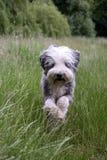 τρέξιμο σκυλιών Στοκ Εικόνα