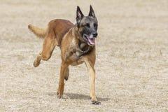 Τρέξιμο σκυλιών αστυνομίας Στοκ φωτογραφία με δικαίωμα ελεύθερης χρήσης