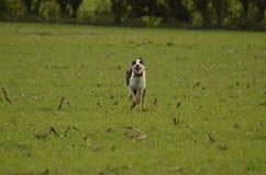 τρέξιμο σκυλιών Στοκ φωτογραφία με δικαίωμα ελεύθερης χρήσης