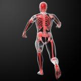 Τρέξιμο της ανθρώπινης ανατομίας από τις ακτίνες X στο κόκκινο Στοκ Εικόνες