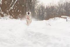 Τρέξιμο του σιβηρικού γεροδεμένου σκυλιού χειμερινό δασικό σε υπαίθριο στο χιόνι Στοκ Εικόνες