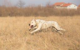 Τρέξιμο Dogo Argentino Στοκ Φωτογραφίες