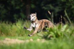 Τρέξιμο Galgo Στοκ εικόνες με δικαίωμα ελεύθερης χρήσης