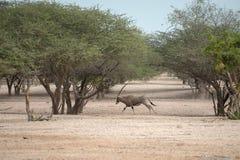 Τρέξιμο oryx στοκ εικόνες με δικαίωμα ελεύθερης χρήσης