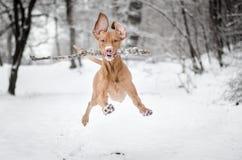 Τρέξιμο Vizsla Στοκ Εικόνες