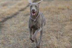 τρέξιμο weimaraner στοκ εικόνα