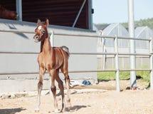 Τρέχοντας Άραβας λίγο foal Ισραήλ Στοκ φωτογραφίες με δικαίωμα ελεύθερης χρήσης