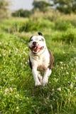 Τρέχοντας αμερικανικό τεριέ Staffordshire Στοκ εικόνες με δικαίωμα ελεύθερης χρήσης