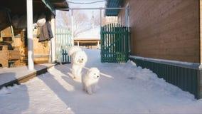 Τρέχοντας παιχνίδι σκυλιών Samoyed φιλμ μικρού μήκους