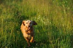 Τρέχοντας σκυλί Στοκ φωτογραφίες με δικαίωμα ελεύθερης χρήσης