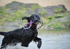Τρέχοντας σκυλί κουταβιών Στοκ Φωτογραφίες