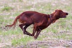 Τρέχοντας σκυλί κυνηγιού στοκ εικόνες