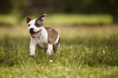Τρέχοντας σκυλί τεριέ ταύρων Staffordshire στο πάρκο Στοκ φωτογραφία με δικαίωμα ελεύθερης χρήσης