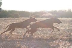 Τρέχοντας σκυλί δύο στοκ φωτογραφία