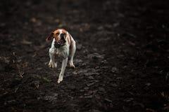 Τρέχοντας σκυλί Στοκ Φωτογραφίες