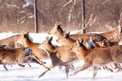 Τρέχοντας στο χιόνι ένα νέο ελάφι Sika Στοκ φωτογραφίες με δικαίωμα ελεύθερης χρήσης