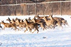Τρέχοντας στο χιόνι ένα νέο ελάφι Sika Στοκ Εικόνες