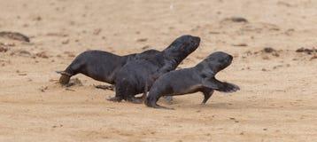Τρέχοντας σφραγίδες γουνών ακρωτηρίων (pusillus Arctocephalus) Στοκ Φωτογραφία