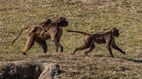 Τρέχοντας Baboon οικογένεια Στοκ Φωτογραφία