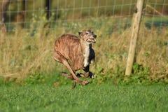 Τρέχοντας greyhound Στοκ Εικόνες