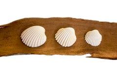 Τρία άσπρα θαλασσινά κοχύλια σε ένα κομμάτι του φλοιού ευκαλύπτων στοκ εικόνα
