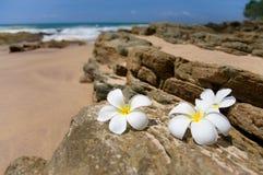 Τρία άσπρα λουλούδια SPA frangipani (plumeria) στις τραχιές πέτρες Στοκ φωτογραφία με δικαίωμα ελεύθερης χρήσης