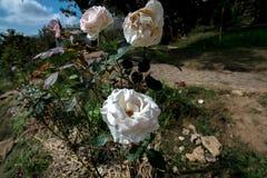 Τρία άσπρα τριαντάφυλλα στον κήπο σχεδόν μια διάβαση πεζών στο σπίτι στοκ εικόνες