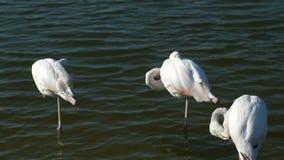 Τρία άσπρα φλαμίγκο στο νερό στο ηλιοβασίλεμα, το φλαμίγκο είναι ένα όμορφο wading πουλί που ζει σε πολλά μέρη απόθεμα βίντεο