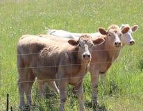 Τρία αδιάκριτα κορίτσια αγελάδων στοκ φωτογραφίες